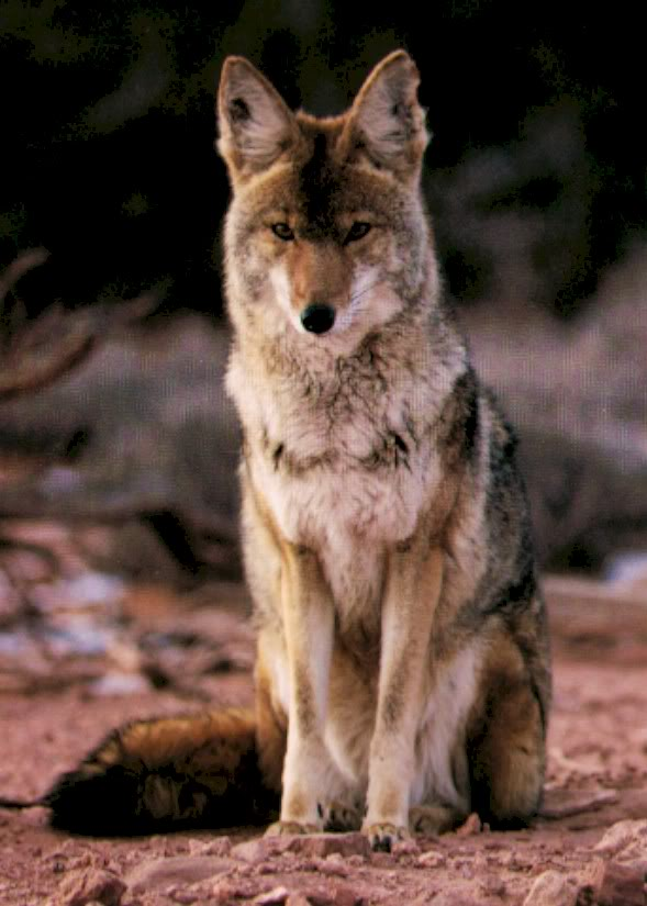 Coyote sitting on dirt ground