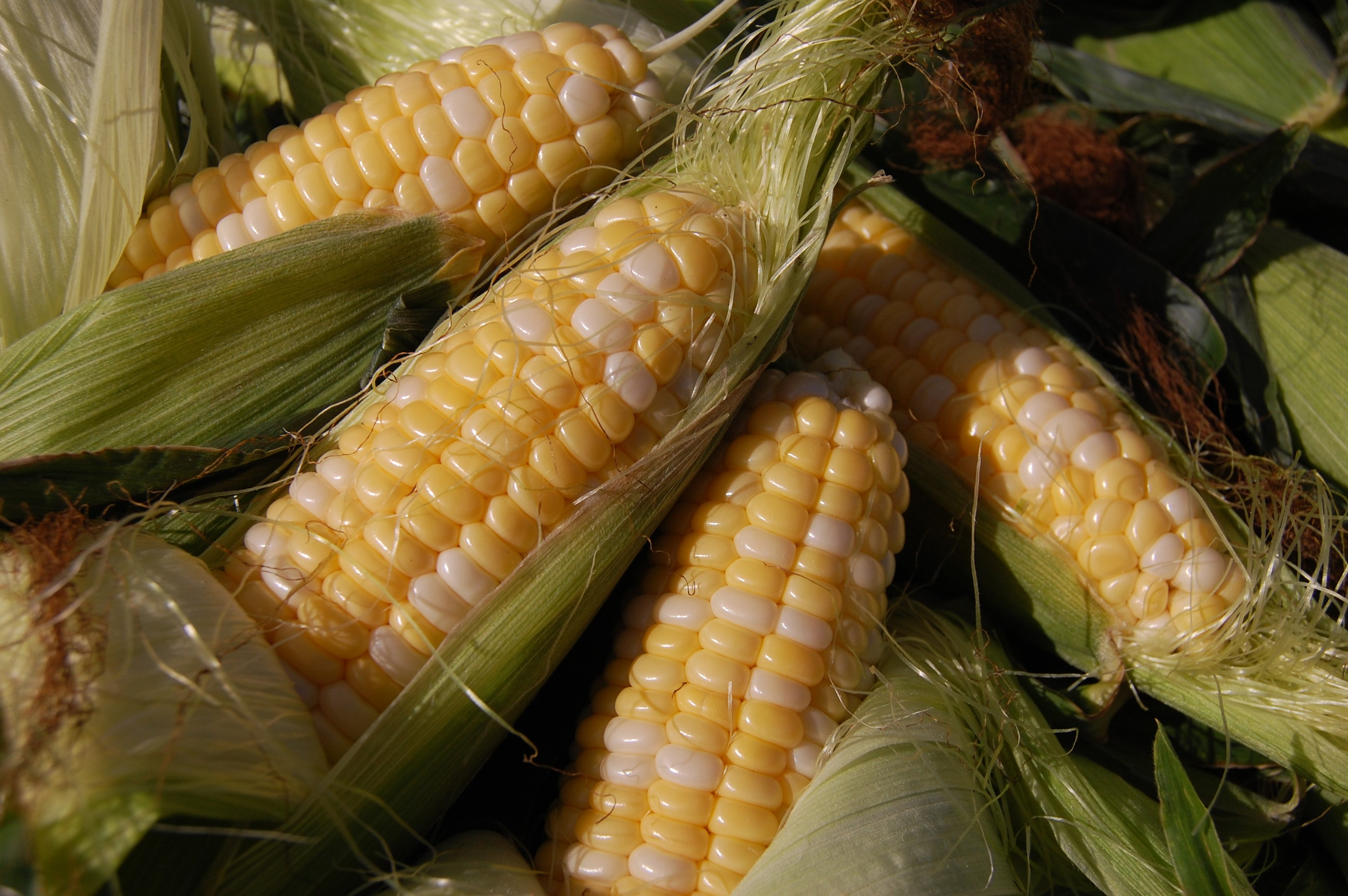 Cobs of corn